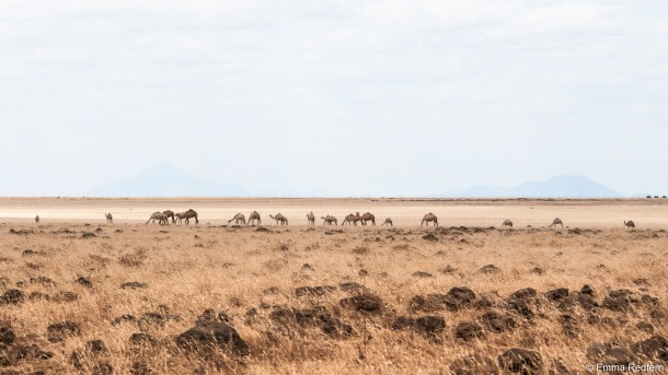 Camels-on-the-Dida-Galgalu-Plains